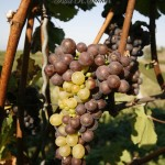 pinot gris and blanc